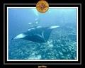 Maldives 07 Mantas 26